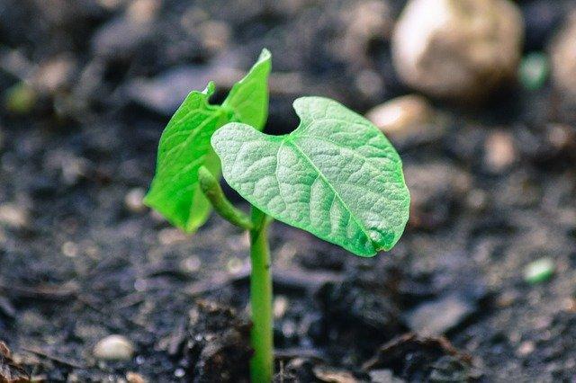 rostlina fazole