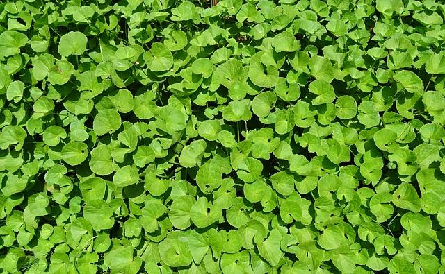 jak vypadá bahenní plazivá rostlinka